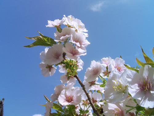 空と御室桜