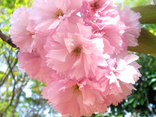 ぼんぼん桜