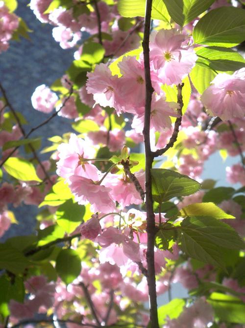 大阪造幣局・桜の通り抜け 逆光桜